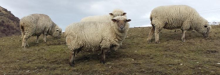 nz_sheep